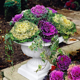 Ornamental Cabbage Seeds - Mix