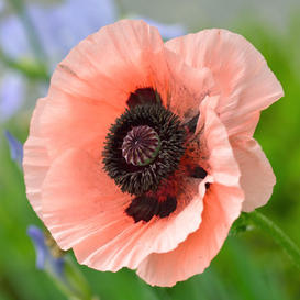 Oriental Poppy Seeds - Princess Victoria Louise