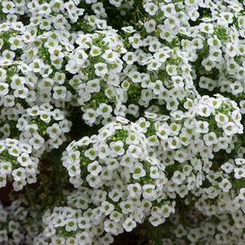 Sweet Alyssum Seeds - Tall White - 1 Pound