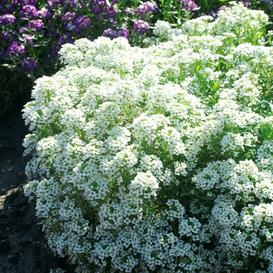 Alyssum Seeds - Tiny Tim