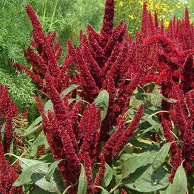 Amaranthus Seeds - Pygmys Torch