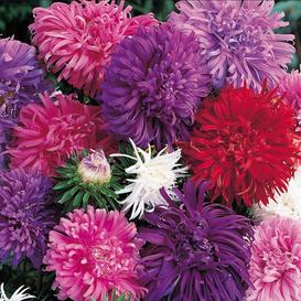 China Aster Seeds - Ostrich Feather Mix