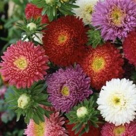 China Aster Seeds - Powderpuff Mix