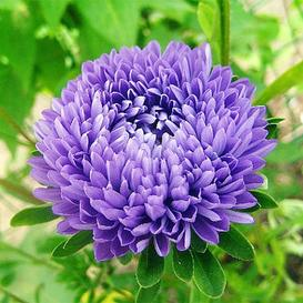 Aster Seeds (Semi-Dwarf) - Jewelaster Purple
