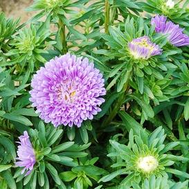Aster Seeds (Dwarf) - Colour Carpet Blue