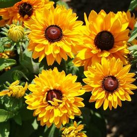 Black Eyed Susan Seeds - Goldilocks