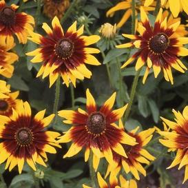 Black Eyed Susan Seeds - Autumn Forest