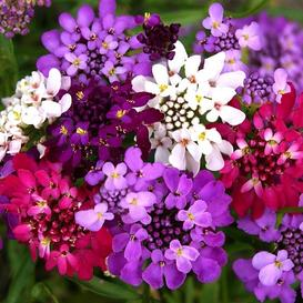 Candytuft Seeds (Dwarf) - Fairy Mix