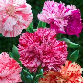 Carnation Seeds - Picotee Mix