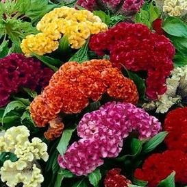 Celosia Seeds - Cristata Mix