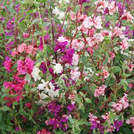 Clarkia Seeds - Mixed
