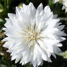 Cornflower / Bachelor Button Seeds - Tall White