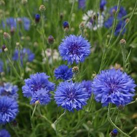 Cornflower / Bachelor Button Seeds - Early Victory