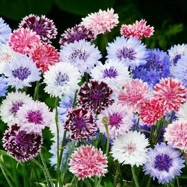 Cornflower / Bachelor Button Seeds - Frosty Mix