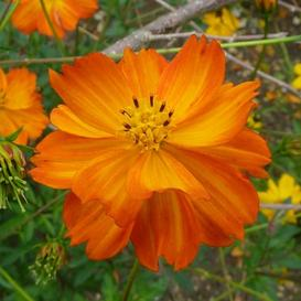 Sulphur Cosmos Seeds - Orange