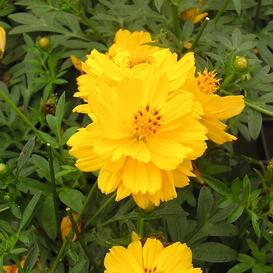 Sulphur Cosmos Seeds - Yellow