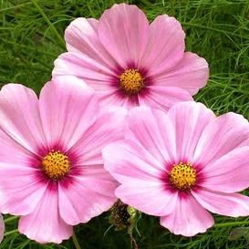 Cosmos Seeds - Gloria - Packet