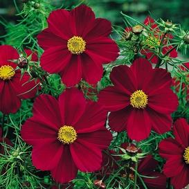 Cosmos Seeds - Versailles Tetra Red