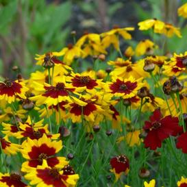 Plains Coreopsis Seeds - Ounce