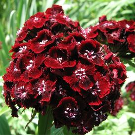 Sweet William Seeds - Dunetti