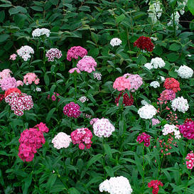 Sweet William Seeds - Tall Single Mix