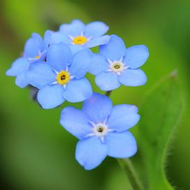 Forget Me Not Seeds - Blue