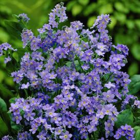 Forget Me Not (Dwarf) Seeds - Ultramarine