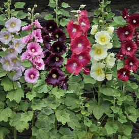 Hollyhock Seeds - Single Mix