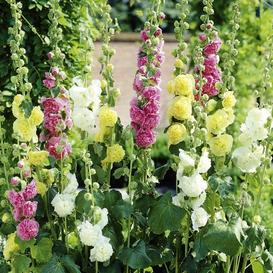 Hollyhock Seeds - Chaters Double