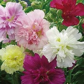 Hollyhock Seeds - Summer Carnival