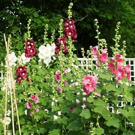 Hollyhock Seeds - Indian Spring Mix