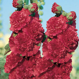 Hollyhock Seeds - Chaters Double Red