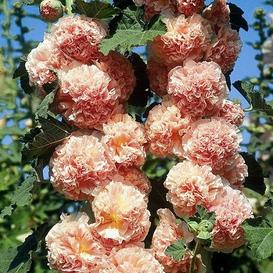 Hollyhock Seeds - Chaters Double Salmon