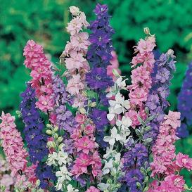 Rocket Larkspur Seeds - Tall Mix - Ounce
