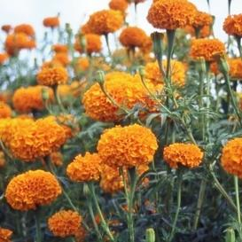 African Marigold Seeds - Hawaii