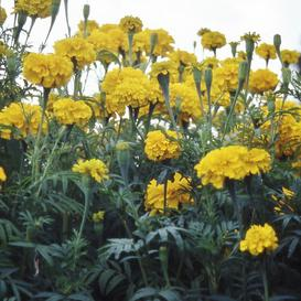 African Marigold Seeds - Smiles