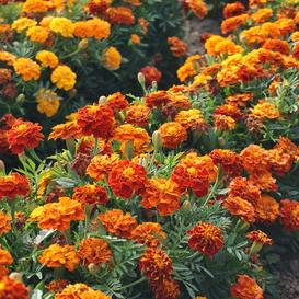 French Marigold Seeds - Sparky Mix - Ounce