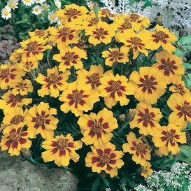 French Marigold Seeds (Dwarf) - Naughty Marietta