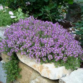 Creeping Thyme Seeds - Packet
