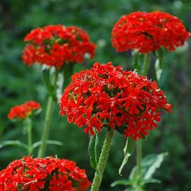 Maltese Cross Seeds