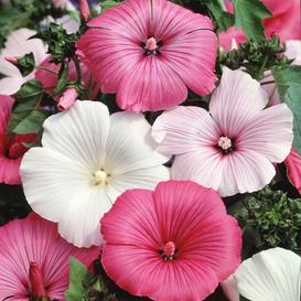 Rose Mallow Seeds - Mixed Colors - Ounce