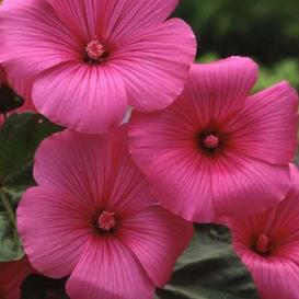 Rose Mallow Seeds - Tanagra