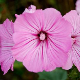 Rose Mallow Seeds - Loveliness