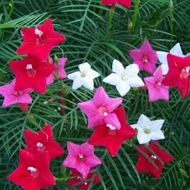 Morning Glory Seeds - Cypress Vine Mix