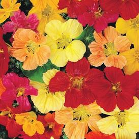 Nasturtium Seeds - Double Gleam Mix