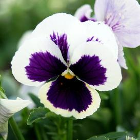 Pansy Seeds - Swiss Giants Silverbride