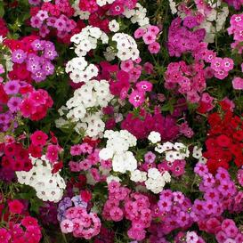 Annual Phlox Seeds - Tall Mix
