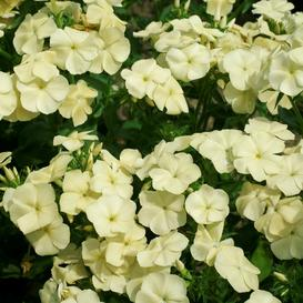 Annual Phlox Seeds - Isabellina