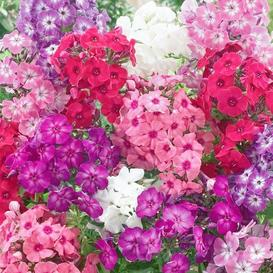 Annual Phlox Seeds - Dwarf Mix