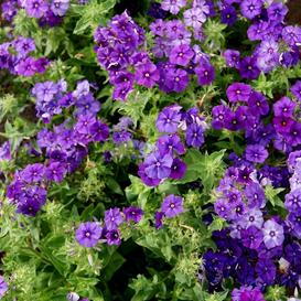Annual Phlox Seeds - Beauty Blue